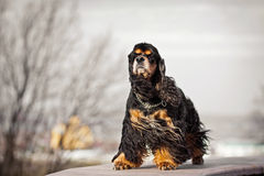 American cocker spaniel stay Stock Images