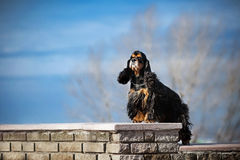 American cocker spaniel stay Stock Photography