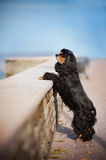 American cocker spaniel stay. On sky background Stock Photography