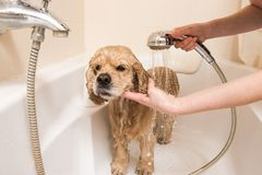 Spaniel is taking a shower. American cocker spaniel is taking a shower at home. Happiness dog taking a bath royalty free stock image