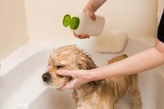 A dog taking a shower with soap and water. American cocker spaniel taking a shower with soap and water. Woman is pouring shampoo royalty free stock photo