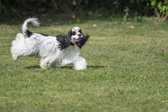 American cocker spaniel with toy Stock Photography