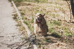 American cocker spaniel for walk in autumn park royalty free stock images