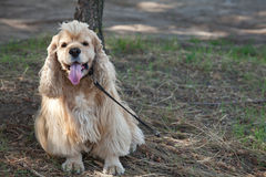 American Cocker Spaniel on a walk in the autumn park Royalty Free Stock Image