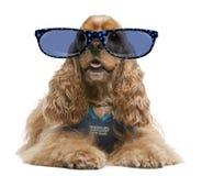 American Cocker Spaniel wearing glasse Stock Images
