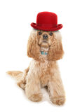 American cocker spaniel wearing a red bowler hat Stock Photo