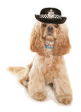 American cocker spaniel wearing wpc hat Stock Photos