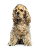 American Cocker Spaniel (1 year old) Stock Images