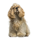 American Cocker Spaniel (1 year old) Stock Image