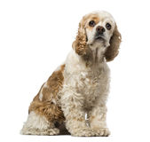 American cocker spaniel (6 years old) Stock Images