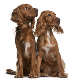 American Cocker Spaniels. 2 years old and 9 months old, sitting in front of white background Stock Image