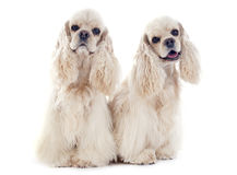 American cocker spaniels Royalty Free Stock Photos