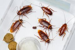 American cockroach Stock Image