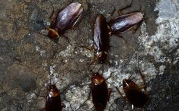 American cockroaches royalty free stock images