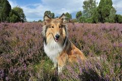 American Collie Royalty Free Stock Images