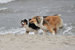 American Collie and Australian Shepherd playing Stock Image