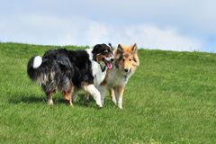 American Collie an Australian sherpherd playing Royalty Free Stock Image