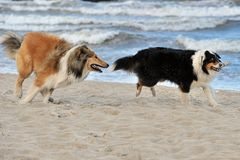 American Collie and Autralian Shepherd Stock Photos