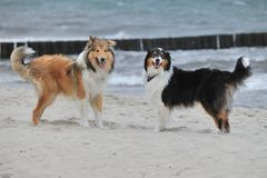 American Collie and Autralian Shepherd. An American Collie is standing on the strand Stock Photo