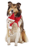 American collie dog on christmas isolated Stock Photography