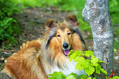American collie dog Royalty Free Stock Image