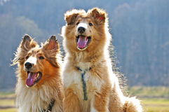 American collie dogs Stock Image