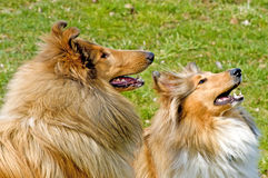 American collie dogs Stock Photo