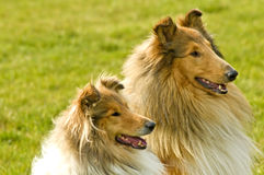 American collie dogs Stock Photos