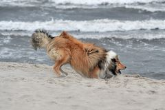 American Collie. An American Collie is playing at the strand Stock Photos