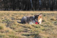 American Collie pup Royalty Free Stock Images