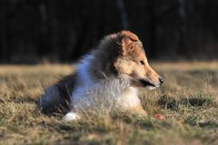 American Collie pup Stock Photo