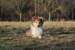 American Collie pup Royalty Free Stock Photography