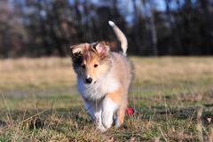 American Collie pup Stock Photos