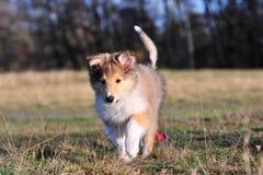 American Collie pup Stock Photos