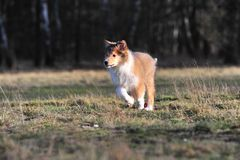 American Collie pup Royalty Free Stock Image