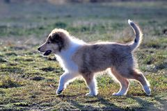 American Collie pup Stock Images