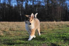 American Collie pup Stock Photography