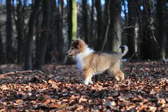 American Collie pup Stock Image