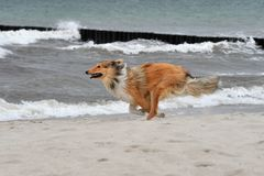 American Collie Royalty Free Stock Image