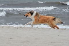 American Collie. An American Collie is running on the strand Royalty Free Stock Photos