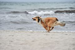 American Collie Stock Image