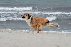 American Collie Stock Images