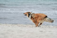 American Collie. An American Collie is running on the strand Royalty Free Stock Photo