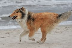 American Collie Stock Photography