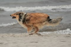 American Collie. An American Collie is running on the strand Royalty Free Stock Image
