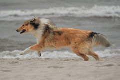 American Collie Stock Photo