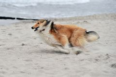 American Collie. An American Collie is running at the strand Royalty Free Stock Photo