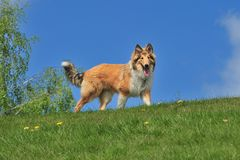 American Collie Royalty Free Stock Photo