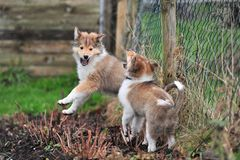 American Collies Royalty Free Stock Images