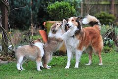 American Collies Royalty Free Stock Photo
